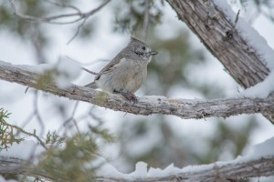 Knee Deep In Snow With A Juniper Titmouse