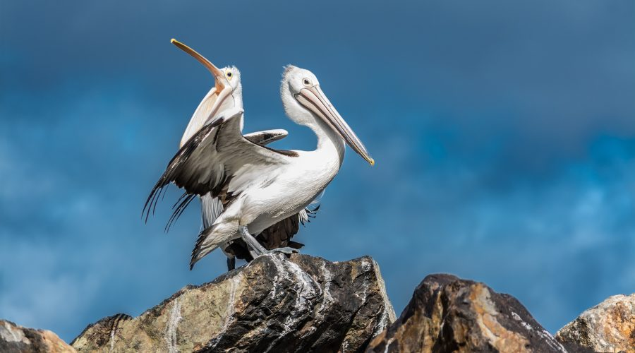 Fine Art Pelican Photography | Eden Wharf NSW