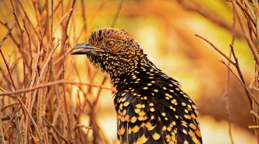 Photo Of The Week: Western Bowerbird | Alice Springs NT